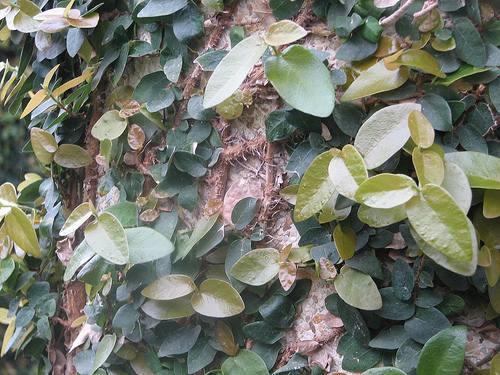 cuidados cultivo enamorada muro ficus pumila 21 Cuidados en el Cultivo de Enamorada del Muro o Ficus Pumila   continuación