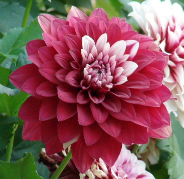 cultivo dalia dhalia 3 Cultivo de Dalias