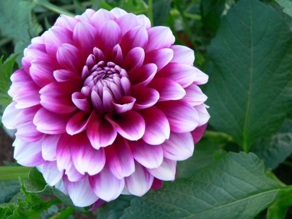 cultivo dalia dhalia 7 Cultivo de Dalias