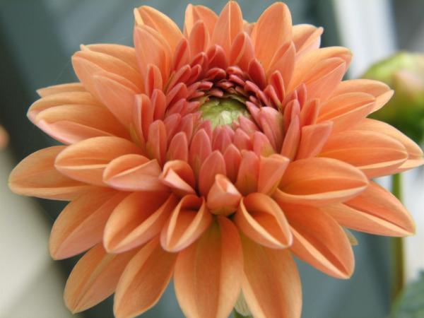 cultivo dalia dhalia 8 Cultivo de Dalias