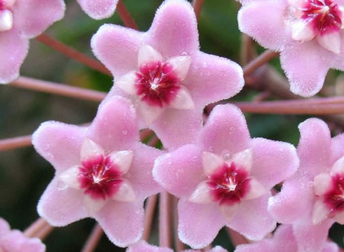 hoya carnosa Hoya Carnosa: Flor de Nácar, de cera, Cerilla o Flor de Porcelana