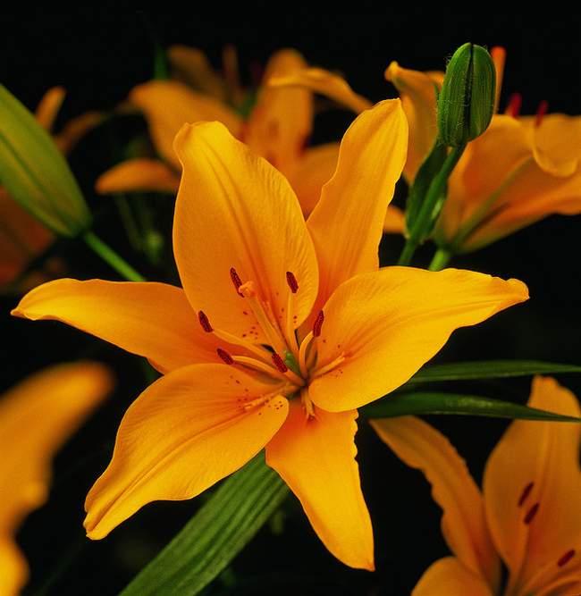lilium azucena lirio cuidados hermosa planta 1 Lilium o Azucena, Cuidados de esta Preciosa Planta