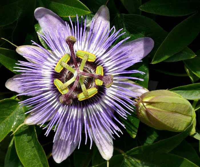 pasionaria flor de la pasion 5 Pasionaria o Flor de la Pasión