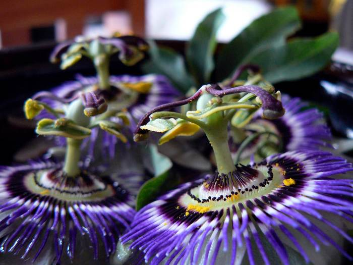 pasionaria flor de la pasion 7 Pasionaria o Flor de la Pasión