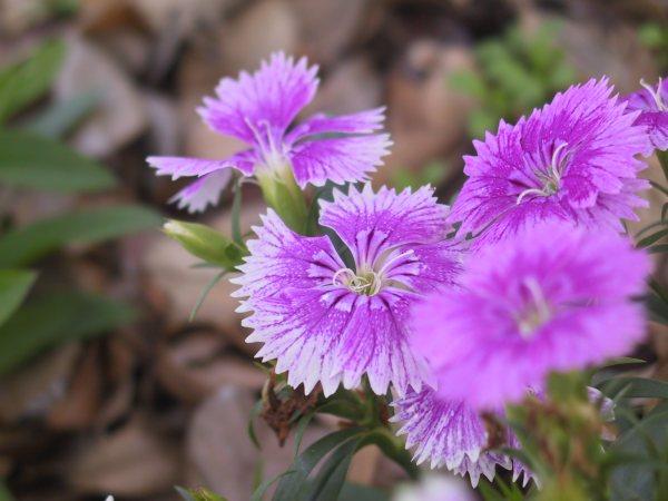 plantas florecen todo el ano clavelina1 Plantas que Florecen Todo el Año