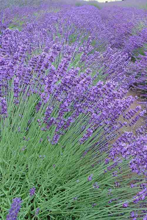 plantas florecen todo el ano lavanda Plantas que Florecen Todo el Año