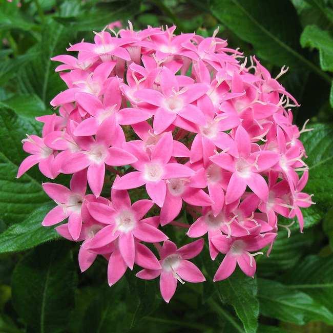 plantas florecen todo el ano pentas Plantas que Florecen Todo el Año