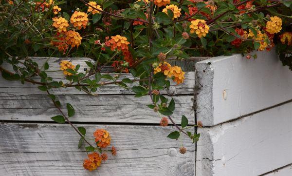 plantas florecen todo el ano verbena Plantas que Florecen Todo el Año