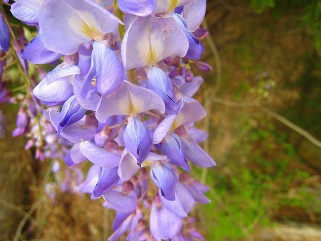 plantas trepadoras glicina 41 Plantas Trepadoras: Glicina  Segunda Parte