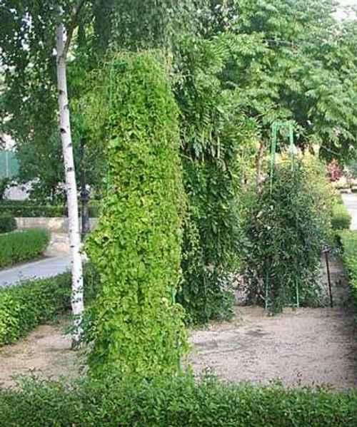plantas trepadoras Plantas Trepadoras