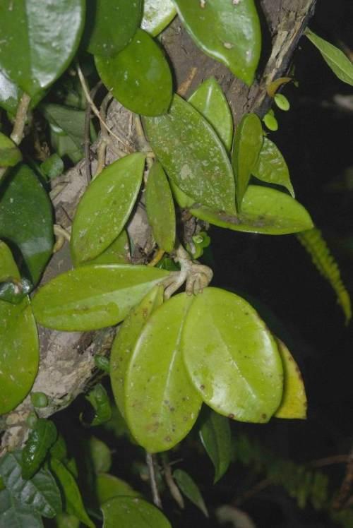 problemas en el cultivo de la hoya carnosa hojas enfermas Problemas en el cultivo de la Hoya Carnosa