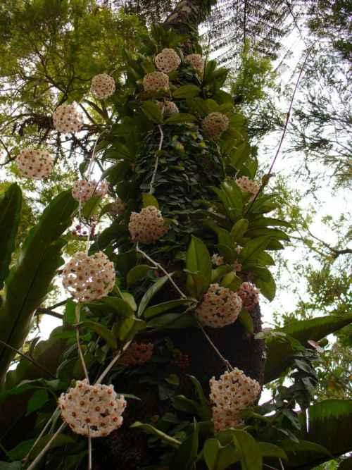 problemas en el cultivo de la hoya carnosa planta Problemas en el cultivo de la Hoya Carnosa